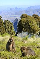 Ethiopia, Amhara region, World Heritage Site, Simien Mountains National Park, Gelada baboons.