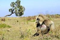 Ethiopia, Amhara region, World Heritage Site, Simien Mountains National Park, Gelada baboon.