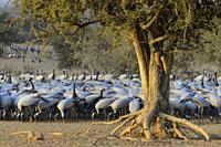 India, Rajasthan, Jodhpur region, Demoiselle cranes. . Native to South West Europe, Black Sea region, Poland, Ukraine, Kazakhstan, Africa and Mongolia...
