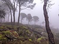 Granite rocks with moss, pines and fog. Madrid. Spain. Europe.
