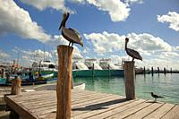 Pelican and birds at the pier, Isla Mujeres, Cancun, Quintana Roo, Mexico, Central America