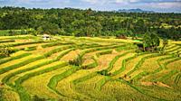 Jatiluwih Rice Terrace (UNESCO World Heritage Site), Bali, Indonesia.