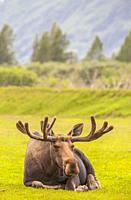 Moose -Alces alces gigas -, Alaska, U. S. A.