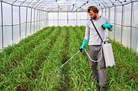 Farmer spraying plants in greenhouse with sprayer, Orchard, Calahorra, La Rioja, Spain, Europe