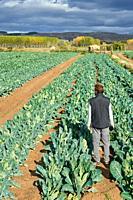 Farmer looking at broccoli field, Agricultural field, Calahorra, La Rioja, Spain, Europe