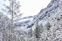 Pyrenees: Snowy alpine forest in the National park of Ordesa and Monte Perdido (Huesca province, Aragon region, Spain)