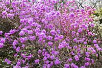 Pinkish-purple flowering Rhododendron mucronulatum - Korean rhododendron shrub in spring, Quebec, Canada.