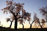Almonds blossom. Winter in Teruel Province.