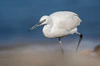 Little Egret (Egretta garzetta), Greece.