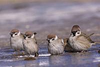 Asie, Mongolie, Parc national Hustai, Groupe de Moineaux friquet (Passer montanus), baignade dans une flaque d'eau, / Asia, Mongolia, Hustai National ...