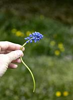 A pale hand delicately holding a blue bell flower.