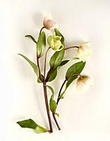 delicate hellebore flowers arranged artfully on a white surface.