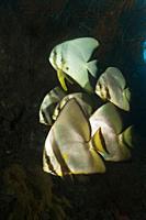 Shoal of Longfin Batfish, Platax teira, New Ireland, Papua New Guinea.