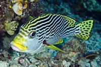 Diagonal-banded Sweetlips (Plectorhinchus lineatus), Sardine Reef dive site, Dampier Strait, Raja Ampat, Indonesia.