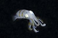 Bigfin Reef Squid (Sepioteuthis lessoniana), night dive, Sakokreng Jetty dive site, Dampier Strait, Raja Ampat, Indonesia.