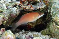 Disappearing Wrasse (Pseudocheilinus evanidus), Suanggi Island dive site, Banda Islands, Indonesia, Banda Sea.