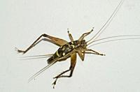 Cricket (Cardiodactylus sp), Klungkung, Bali, Indonesia.