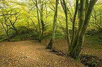 Beech trees along the stream in Hope Wood in the Ebbor Gorge National Nature Reserve in the Mendip Hills, Somerset, England.