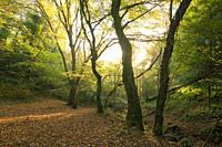 Autumn colour in Hope Wood in the Ebbor Gorge National Nature Reserve, Mendip Hills, Somerset, England.