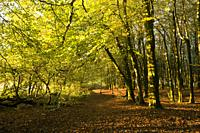 Autumn in Beacon Hill Wood in the Mendip Hills, Somerset, England.