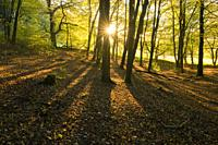 Autumn sunrise in Beacon Hill Wood in the Mendip Hills, Somerset, England.