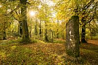 The Standing Stone in autumn in Beacon Hill Wood in the Mendip Hills, Somerset, England.