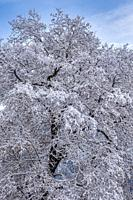 Snow Covered Oak Tree in Yosemite National Park CA USA World Location