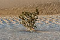 Creosote Bush on Mesquite Dunes Death Valley National Park CA USA World Location
