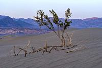 Living and the Dead Creosote Bush Death Valley National Park CA USA World Location