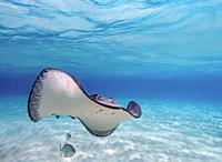 Southern stingray (Hypanus americanus), Stingray City, Grand Cayman, Cayman Islands.
