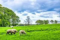 Galway sheeps (ovis aries) grazing in a field, County Galway, Ireland,.