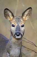 Roe Deer, Capreolus capreolus, female.