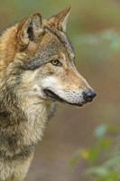 Wolf, Canis lupus, in forest.