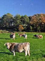 Cattle grazing in the pasture. Sant Martí d'Albars village countryside. Lluçanès region, Barcelona province, Catalonia, Spain.