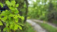 Oak tree leaves and track. Springtime at Santa Eulàlia village countryside. Lluçanès region, Barcelona province, Catalonia, Spain.
