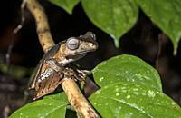 File-eared Tree Frog (Polypedates otilophus), Rhacophoridae family, endemic to Borneo, Kubah National Park, Kuching, Sarawak, Borneo, Malaysia.