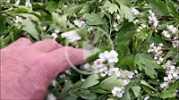 Picking up and drying hawthorn flowers and leaves.