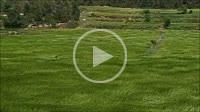 German shepherd playing with grass.