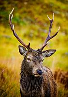 Red Deer stag in Glen Etive, Highlands of Scotland.