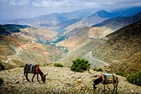 Tethered donkeys grazing in the High Atlas Mountains, Morocco, North Africa.