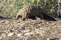 Africa, Namibia, Private reserve, Ground pangolin, also known as Temminck´s pangolin or Cape pangolin, (Smutsia temminckii), controlled conditions.