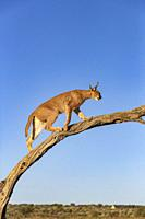 Caracal (Caracal caracal), Occurs in Africa and Asia, Namibia, Private reserve, Adult under controlled conditions, on a tree.