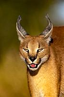 Caracal (Caracal caracal), Occurs in Africa and Asia, Namibia, Private reserve, Adult under controlled conditions.