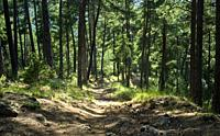 Path inside the pine forest, Cazorla, Jaen, Andalusia, Spain, Europe