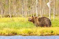 Brown bear(Ursus arctos), Vartius, Finland (wild animal, non controlled conditions).