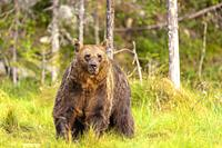 Brown bear(Ursus arctos), Vartius, Finland (wild animal, non controlled conditions).
