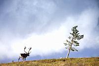 Reindeer (Rangifer tarandus), National Park of Pallas-Yllästunturi, Lapland, Finland.