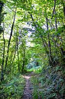 Path Between the chestnut and birch forest of Haría in Lena, Asturias, Spain