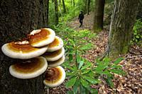 Ganoderma species of polypore fungi growing on tree bark - North Slope Trail, Pisgah National Forest, Brevard, North Carolina, USA.