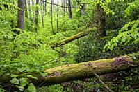 Verdant forest landscape on North Slope Trail - Pisgah National Forest, Brevard, North Carolina, USA.